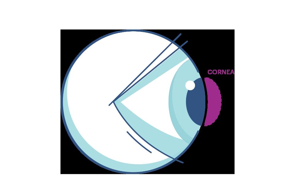 Ilustración que muestra la Córnea del ojo.